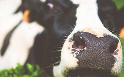 Sobre las vacas locas