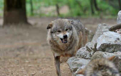 Ataques de lobo en España